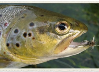 brown trout wtih fly in mouth