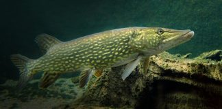 underwater northern pike