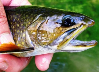 brig brook trout
