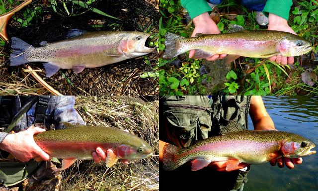 brooder rainbow trout