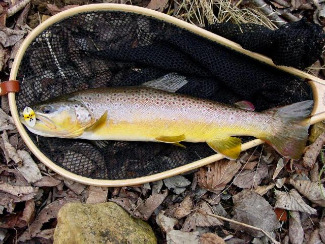 netted brown trout