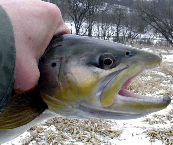 hook jaw brown trout