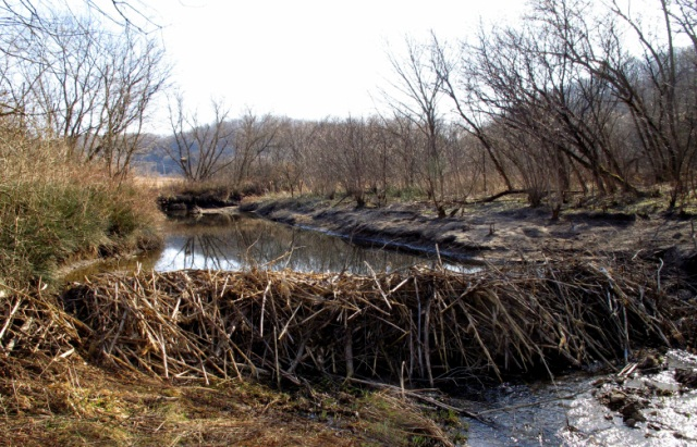 beaver dam on small stream