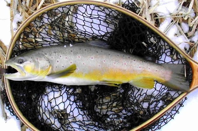 21 inch brown trout