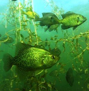 underwater panfish