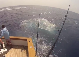 reeling in a blue marlin
