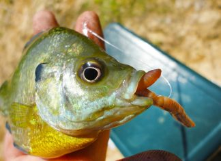 bluegill with worm