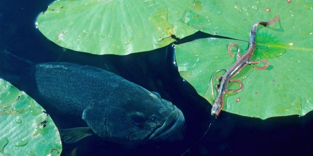 bass under lilypads